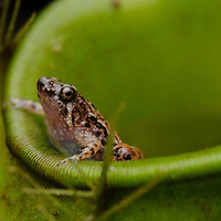 The smallest frog in Borneo at scarcely over 1 cm in length, a male Matang Narrow-mouthed Frog (Microhyla nepenthicola), perches on the lip of a pitcher plant (Nepenthes ampullaria) where he will entice a female to lay her eggs. These tiny frogs are so far known to breed only in the water-filled chambers of certain pitcher plants, and their small size may be an adaptation for this lifestyle. Sarawak, Malaysia (Borneo).
