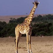 Giraffe, (Giraffa camelopardalis) Portrait of adult. Serengeti Plains.Masai Mara Reserve. Kenya