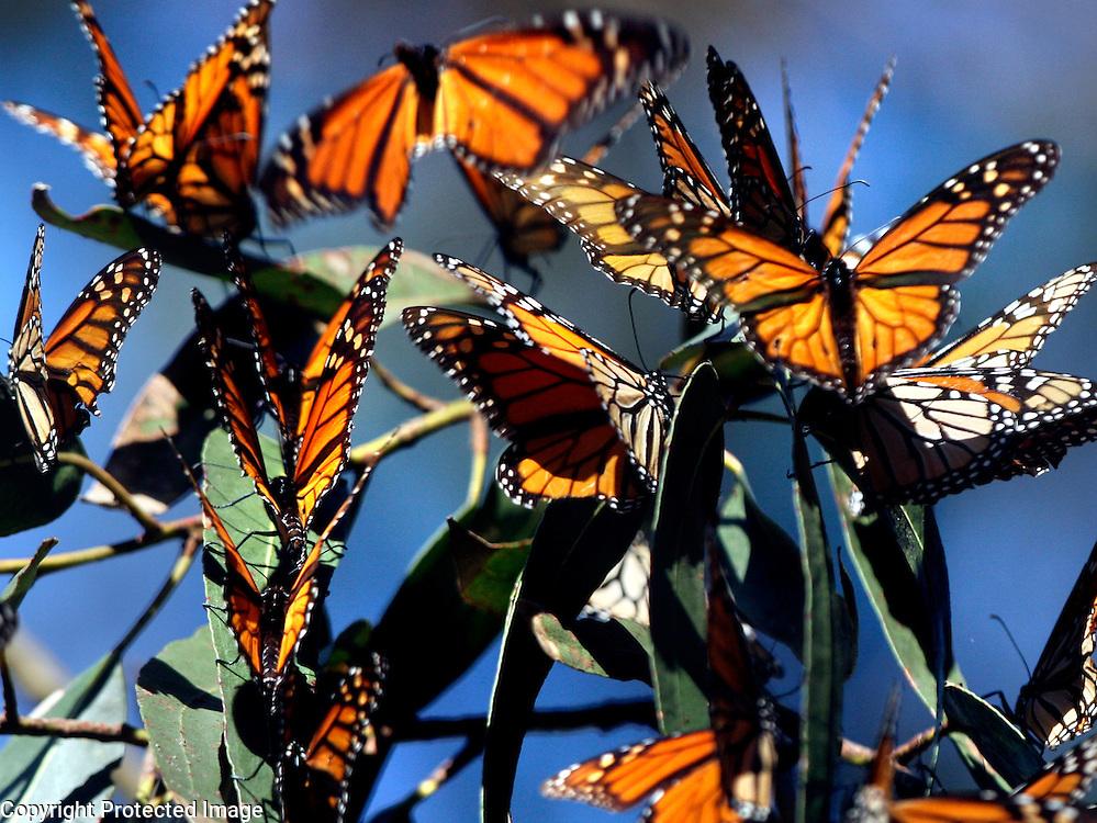 Monarch butterflies at Natural Bridges State Beach in Santa Cruz, California.<br /> Photo by Shmuel Thaler <br /> shmuel_thaler@yahoo.com www.shmuelthaler.com
