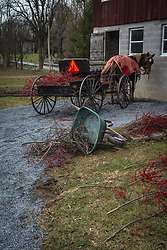 Lancaster , PA farm homestead.  Known for raising Winter Berries during holiday seasons. AGRICULTURE STOCK PHOTO, LANCASTER, PA.