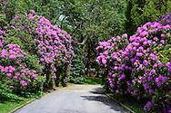 Further Lane, East Hampton, NY Driveway & Rhododendron, Further Lane, East Hampton, NY