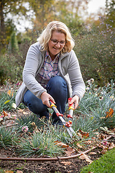 Cutting back Dianthus - Pinks - in late autumn using hand shears