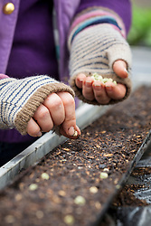 Sowing peas in guttering. Pisum sativum