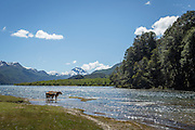 Cows near lake, Lago Hermoso, Neuqu?n Region, Argentina, South America