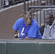 """CHICAGO - JUNE 27:  A White Sox fan wears a billy goat mask and an """"L"""" shirt making fun of the Cubs """"curse"""" during the game between the Chicago White Sox and Chicago Cubs onJune 27, 2009 at U.S. Cellular Field in Chicago, Illinois.  The White Sox defeated the Cubs 8-7.   (Photo by Ron Vesely)"""