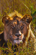 """Young male lion with """"Mohawk"""" main"""
