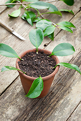 Taking leaf bud cuttings from a camellia. Planting around edge of terracotta pot