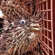 Rovinj 2015 07 09 Kroatien<br /> Matmarknad i hamnen fisk grönsaker olivolja frukt<br /> ----<br /> FOTO : JOACHIM NYWALL KOD 0708840825_1<br /> COPYRIGHT JOACHIM NYWALL<br /> <br /> ***BETALBILD***<br /> Redovisas till <br /> NYWALL MEDIA AB<br /> Strandgatan 30<br /> 461 31 Trollhättan<br /> Prislista enl BLF , om inget annat avtalas.