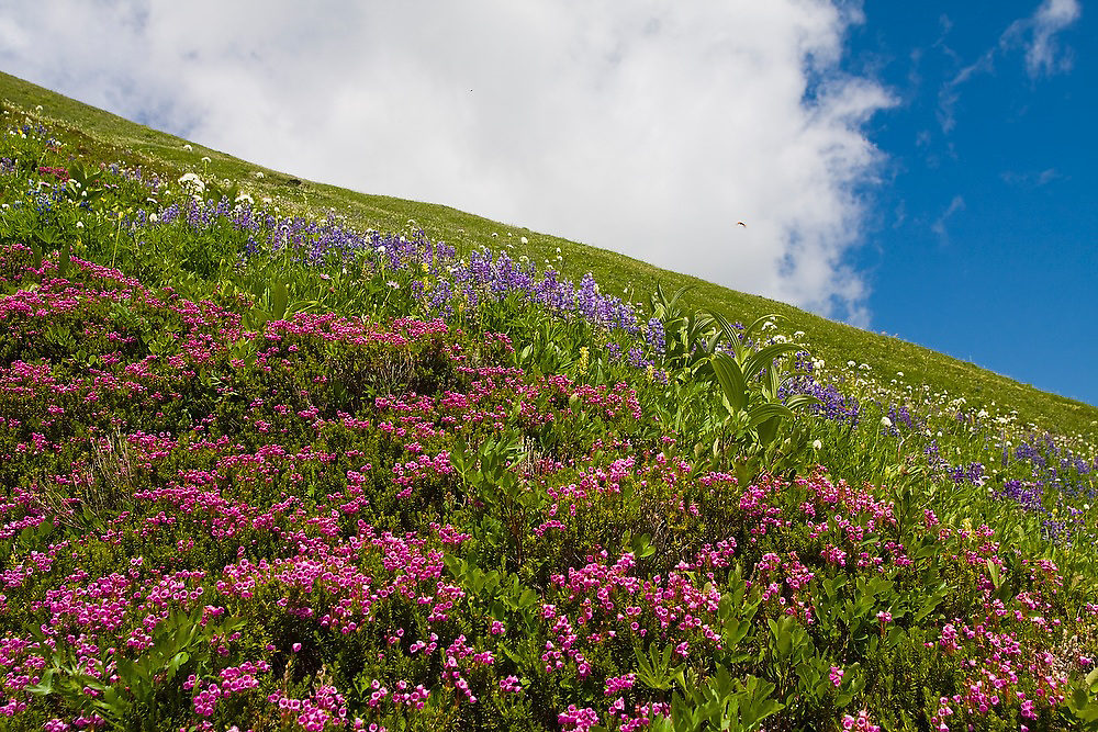 Flowering lupine and heather in an alpine meadow along the Pacific Crest Trail near White Pass, Glacier Peak Wilderness, Washington.