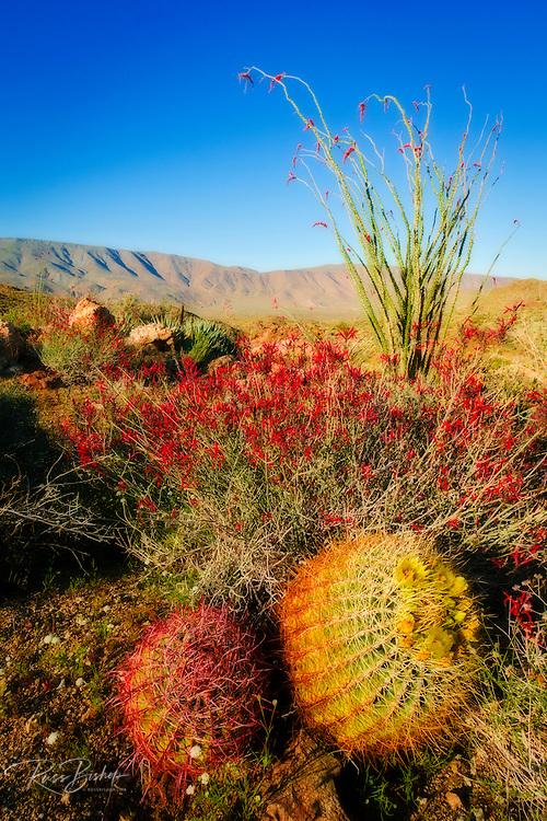Barrel cactus, chuparosa, and ocotillo in Plum Canyon, Anza-Borrego Desert State Park, California USA