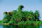 Pair of African Fish Eagles on creepers and palm trees in the Okavango Delta in Botswana