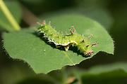 White admiral (Limenitis camilla) larva feeding on honeysuckle (Lonicera periclymenum). Sussex, UK.