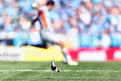 Pássaro Quero Quero é visto no gramado do estádio Olímpico, em Porto Alegre, durante a partida das equipes do Grêmio e Internacional, válida pela última rodada do Campeonato Brasileiro neste domingo, dia 2. FOTO: Jefferson Bernardes/Preview.com