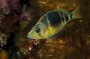 Barred Hamlet (Hypoplectrus puella)<br /> BONAIRE, Netherlands Antilles, Caribbean<br /> HABITAT & DISTRIBUTION: Bottom near reefs<br /> Florida, Bahamas, Caribbean & Bermuda