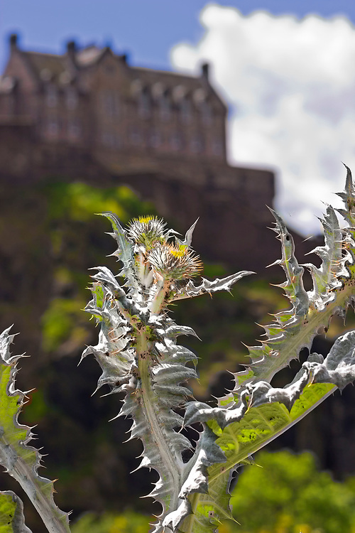 Thistle, with Edinburgh Castle in background