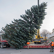 SOUTH PORTLAND, Maine -- 11/15/18 --   Crews from the Forestry Section of Portland's Parks, Recreation & Facilities Department set down a 40-foot blue spruce donated by the South Portland Fire Department on a flatbed truck before delivering it to Monument Square in Portland -- where it will be installed as this year's Christmas tree. <br />