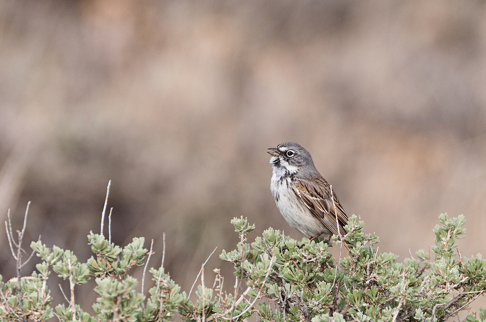 A Male Sage Sparrow (Amphispiza belli) singing on sagebrush in Harney County, Oregon.