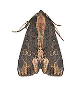 73.105 (2301)<br /> Bird's Wing - Dypterygia scabriuscula