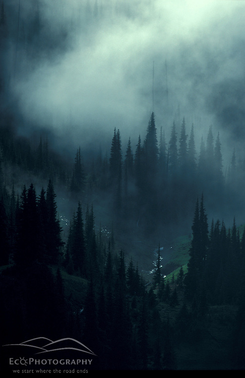 Hurricane Ridge, WA.Mist and light fill the gaps between the trees in Washington's Olympic Mtns, Olympic N.P.