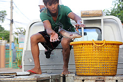 Commercial fish farms deliver catfish by truck with wet boxes to the fish market in Kampong Thom, Cambodia.