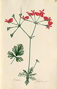 Scarlet stork's bill flower Pelargonium fulgidum [here as Geranium fulgidum] by Wendland, Johann Christoph, 1798