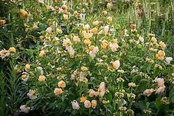 Rosa 'Buttercup' syn. 'Ausband' with phlomis