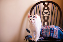 Rescued stray feral kitten standing on a chair in his adopted home, England, United Kingdom.