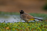 Yellow-vented Bulbul (Pycnonotus xanthopygos) near water on the ground. Photographed in Israel