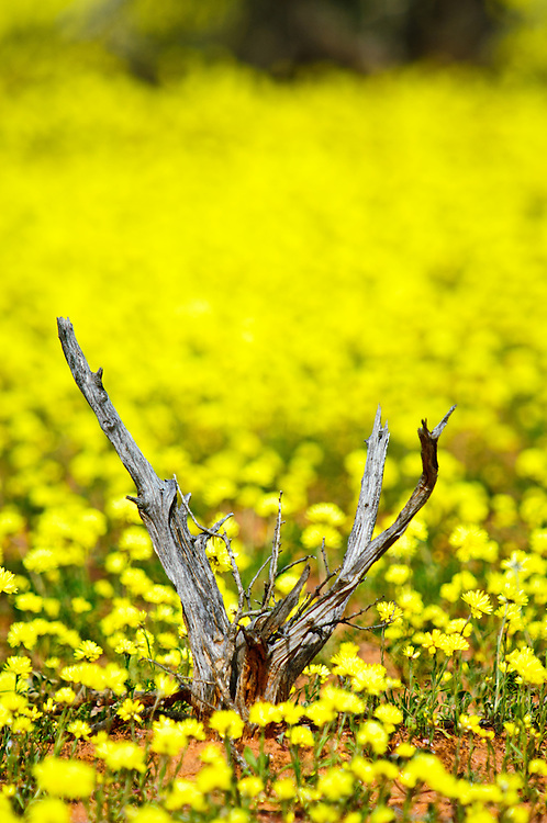 Stock photograph of yellow wild flowers blossoming in the Outback spring, Australia