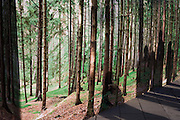 Artwork of forest backdrop with tall, straight pine trees and shadows of anonymous passers-by.