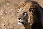 Portrait of an adult dominant male lion, Panthera leo of the Marsh Pride.