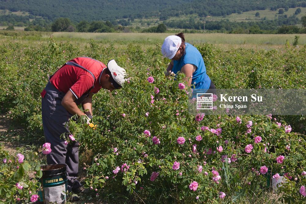 Farmers harvesting roses, Rose Valley, Bulgaria