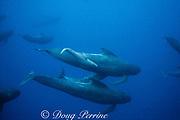 long-finned pilot whales, Globicephala melas, adults with newborn calf, Azores Islands, Portugal ( North Atlantic Ocean )