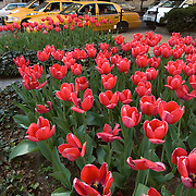 Spring Tulips on Park Avenue in New York City