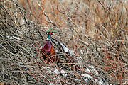 Male ringneck pheasant roosting in choke cherry thicket