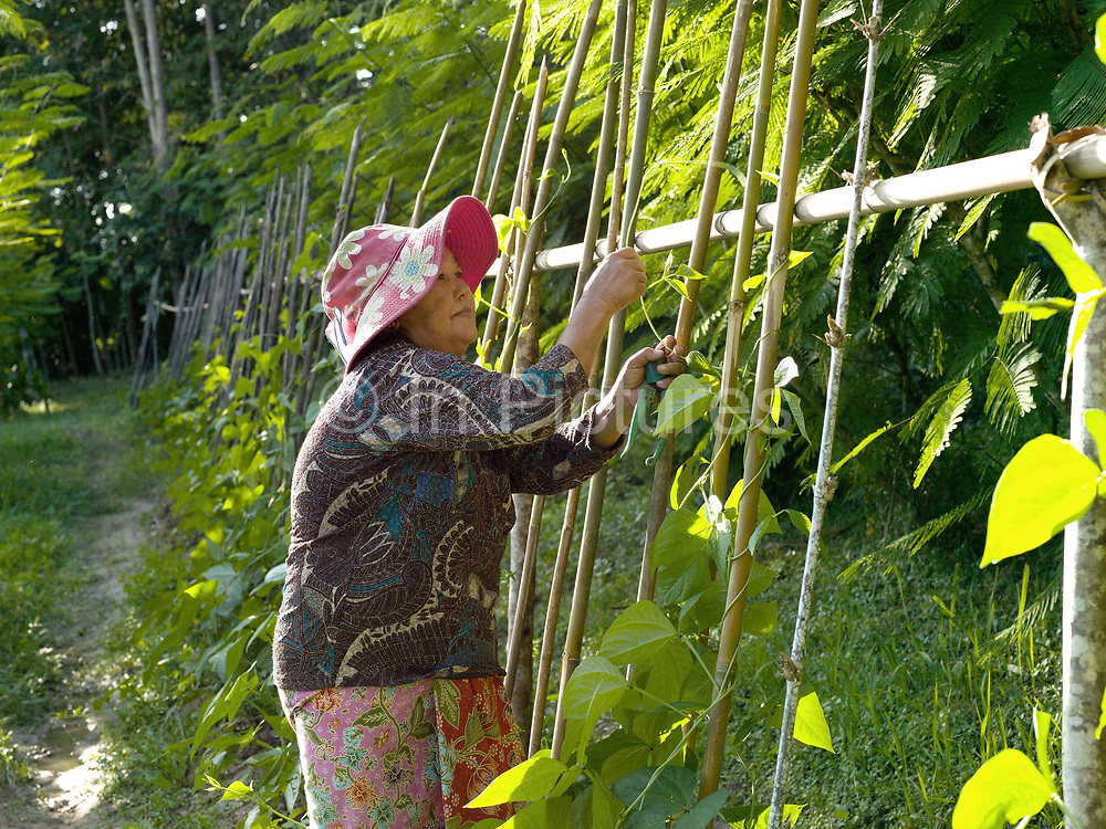 Bounthit Inthavong, 59 in her vegetable garden in Tao Than village in the Laos province of Vientiane. This area has been hard hit by climate change over recent years and the farming-dependent family is feeling the effects. She and her husband Somvang Inthavong, 60, are farmers manage the farm alone and the children help at the weekends. They produce organic brown sticky rice, various kinds of bamboo, and fruit and vegetables including green beans, morning glory, lemons and mangos.