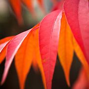 Pistachio leaf in Fall in Folsom, CA