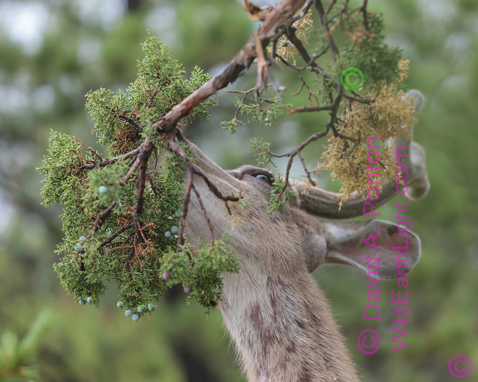 Mule deer buck seems to be nibbling something on a juniper branch, pinon -juniper woodland along the south rim of the Grand Canyon, Grand Canyon National Park, © David A. Ponton
