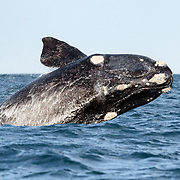 A young southern right whale (Eubalaena australis) breaching. Note the development of the callosities. When the whale has matured and the callosities fully developed (complete with communities of commensal organisms), the pattern and layout of these callosities will facilitate photo identification. Photographed with the permission of the Department of Environmental Affairs, South Africa.