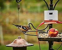Rose-breasted Grosbeak. Image taken with a Nikon D850 camera and 200 mm f/2 VR lens