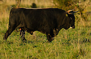 Bull of second generation crossbreeds for the Tauros/Aurochs breeding site run by The Taurus Foundation, Keent Nature Reserve, The Netherlands