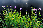 Blue flag iris (Iris versicolor)<br />Whiteshell Provincial Park<br />Manitoba<br />Canada