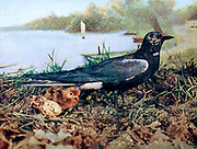 Black Tern [Hydrochelidon Ingra Surinamensis] Mother with chick and eggs From Birds : illustrated by color photography : a monthly serial. Knowledge of Bird-life Vol 1 No 3 March 1897