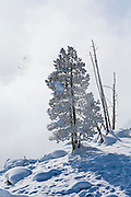 Frosted tree during winter in Yellowstone
