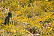 Organ Pipe Cactus (Stenocereus thurberi) and brittlebush (Encelia farinosa) in springtime, Organ Pipe Cactus National Monument, Arizona, USA, Organ Pipe Cactus National Monument, Arizona, USA