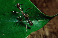 Ant mimicing spider in Sierra Madre National Park, Luzon, Philippines.  Sep 01.
