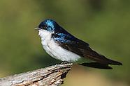 Tree Swallows in Springtime