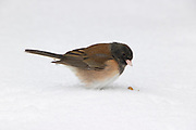 A dark-eyed junco (Junco hyemalis) in Oregon plumage reaches for a seed resting on fresh snow in Snohomish County, Washington