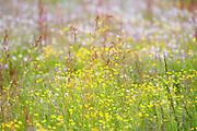 Wild Flower Meadow, Lentiira, Kuhmo, Finland