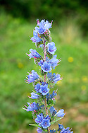 VIPER'S-BUGLOSS Echium vulgare (Boraginaceae) Height to 80cm. Upright biennial covered in reddish bristles. Grows in dry grassland, mainly on sandy and calcareous soils, often near the coast. FLOWERS are 15-20mm long, funnel-shaped and bright blue with protruding purplish stamens; borne in tall spikes (May-Sep). FRUITS are rough nutlets. LEAVES are narrow and pointed; basal leaves are stalked. STATUS-Widespread and common in England and Wales; scarce elsewhere.